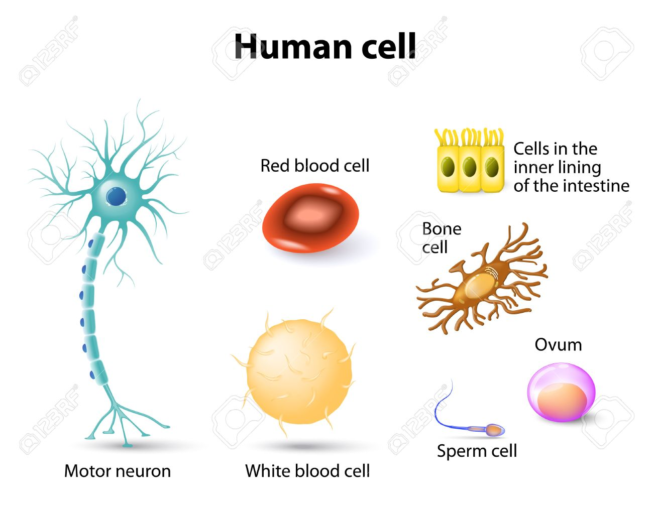 Human Anatomy Motor Neuron Red Blood Cell And White Blood Cell