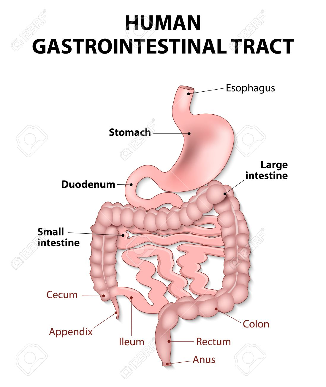Gastrointestinal Tract Includes All Structures Between The Esophagus ...
