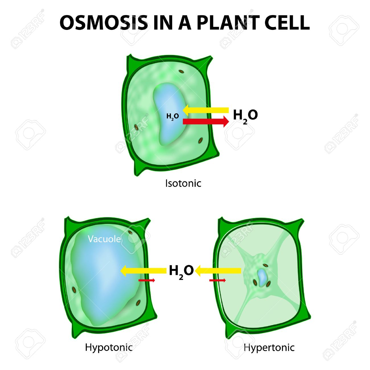 Plant Cell Stock Photos Royalty Free Images Osmosis In A 3 Types Of Tonicity Hypotonic Hypertonic And