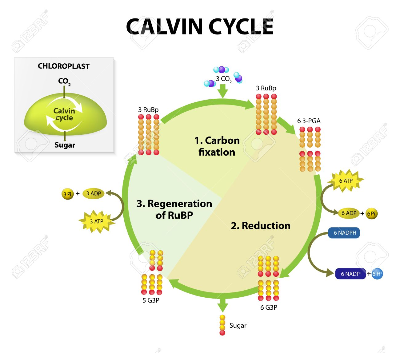 Photosynthesis. Calvin Cycle In Chloroplast. Calvin Cycle Makes ...