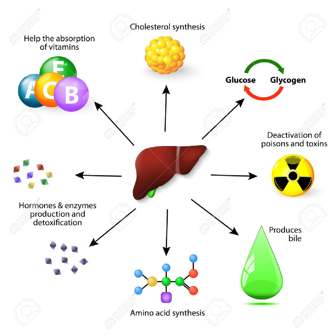 Las Funciones Del Hígado. El Hígado Juega Un Papel Importante En El ...