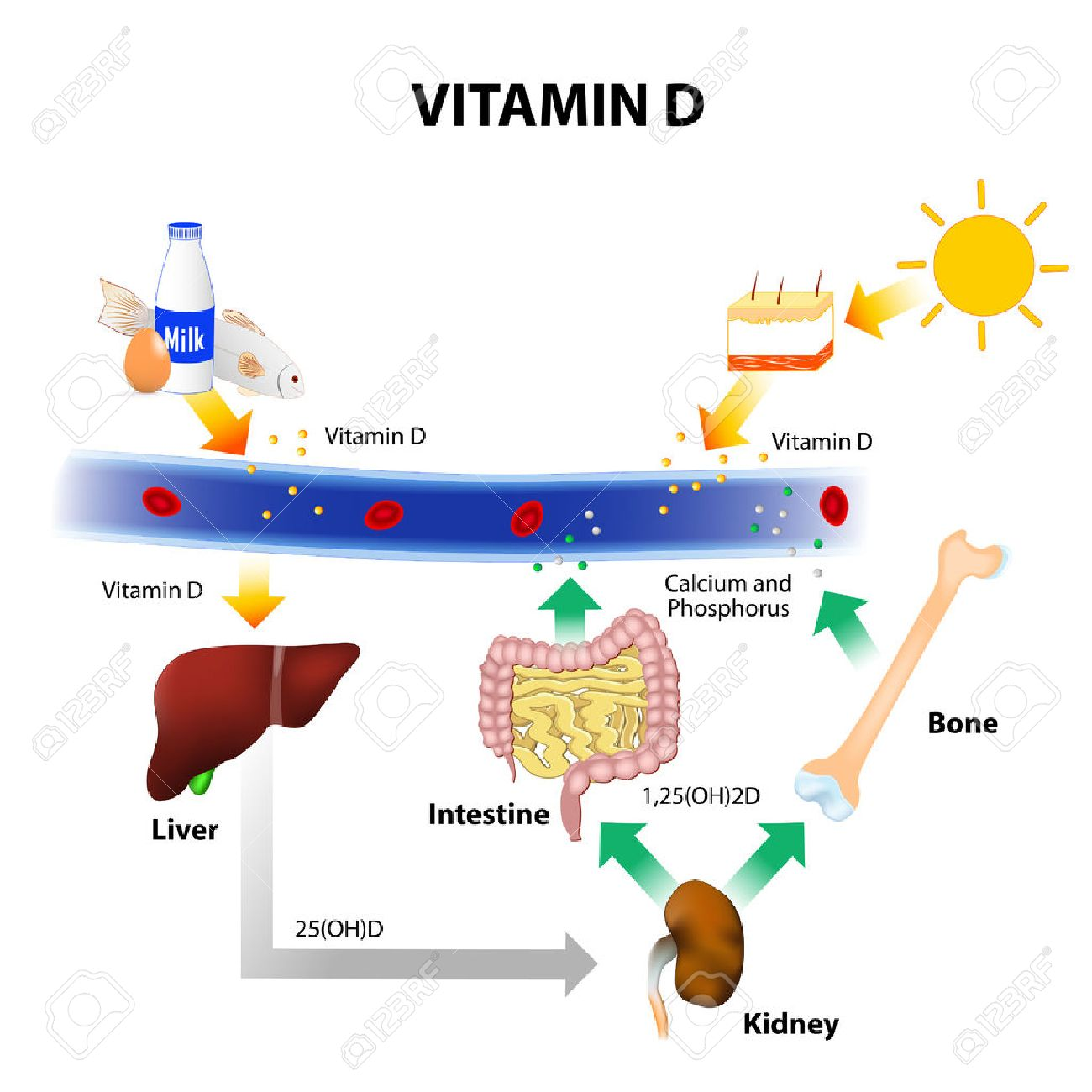 Vitamin D Foods Contain Skin Absorbs Solar Uvb Radiation. Vector Vitamin D Foods Contain Skin Absorbs Solar Uvb Radiation And Synthesis Of Calcium Homeostasis Metabolism. Wiring. Homeostasis Diagram Of Vit D At Scoala.co