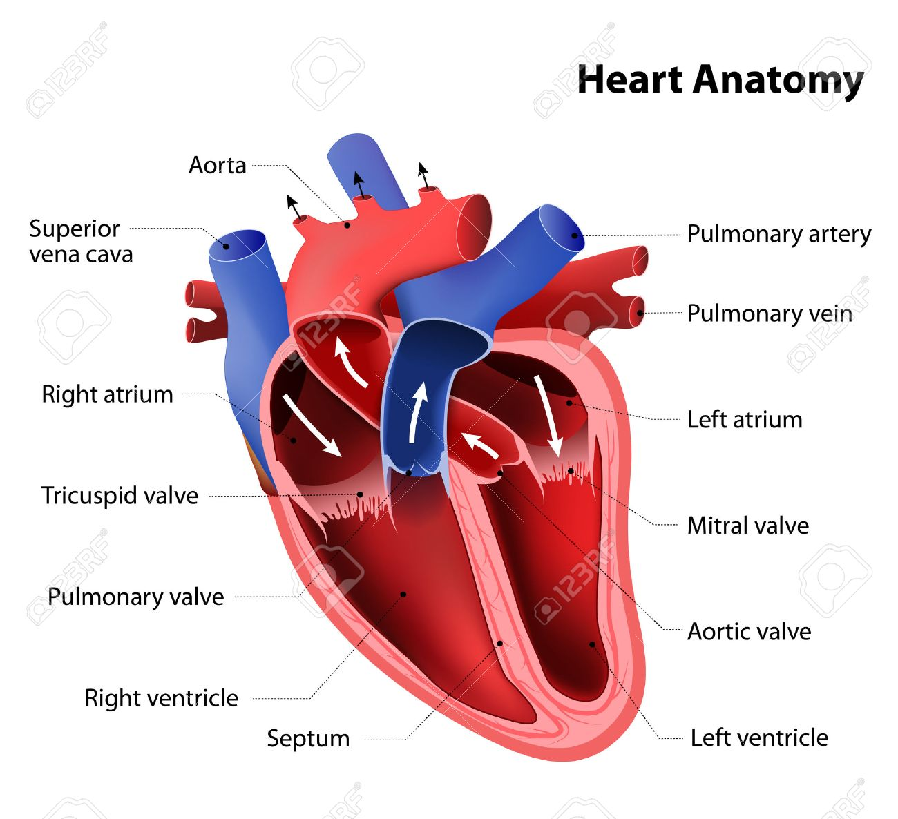 Heart Anatomy. Part Of The Human Heart Royalty Free Cliparts ...