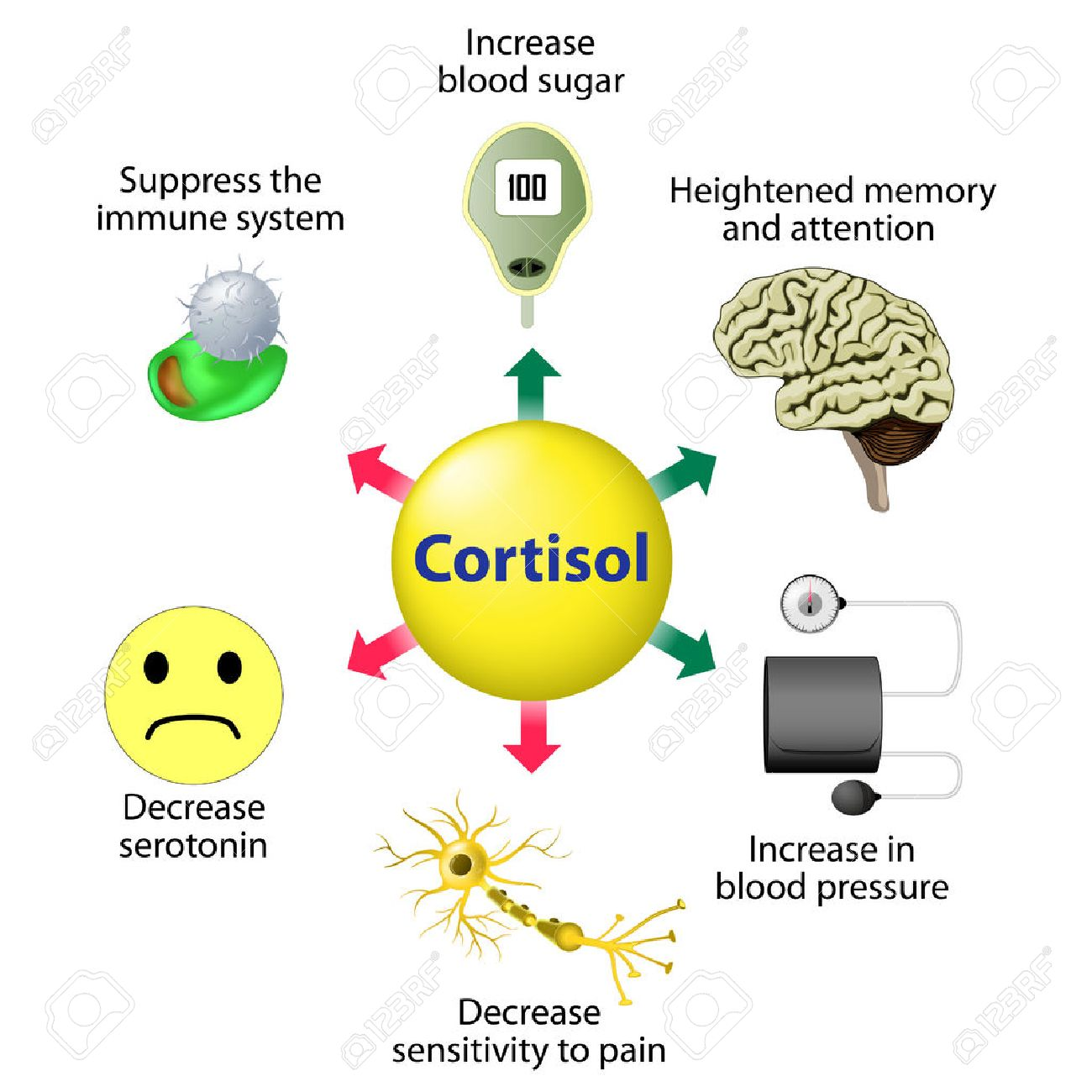 Cortisol Functions. Cortisol is released in response to stress and low blood-glucose concentration. - 52586698