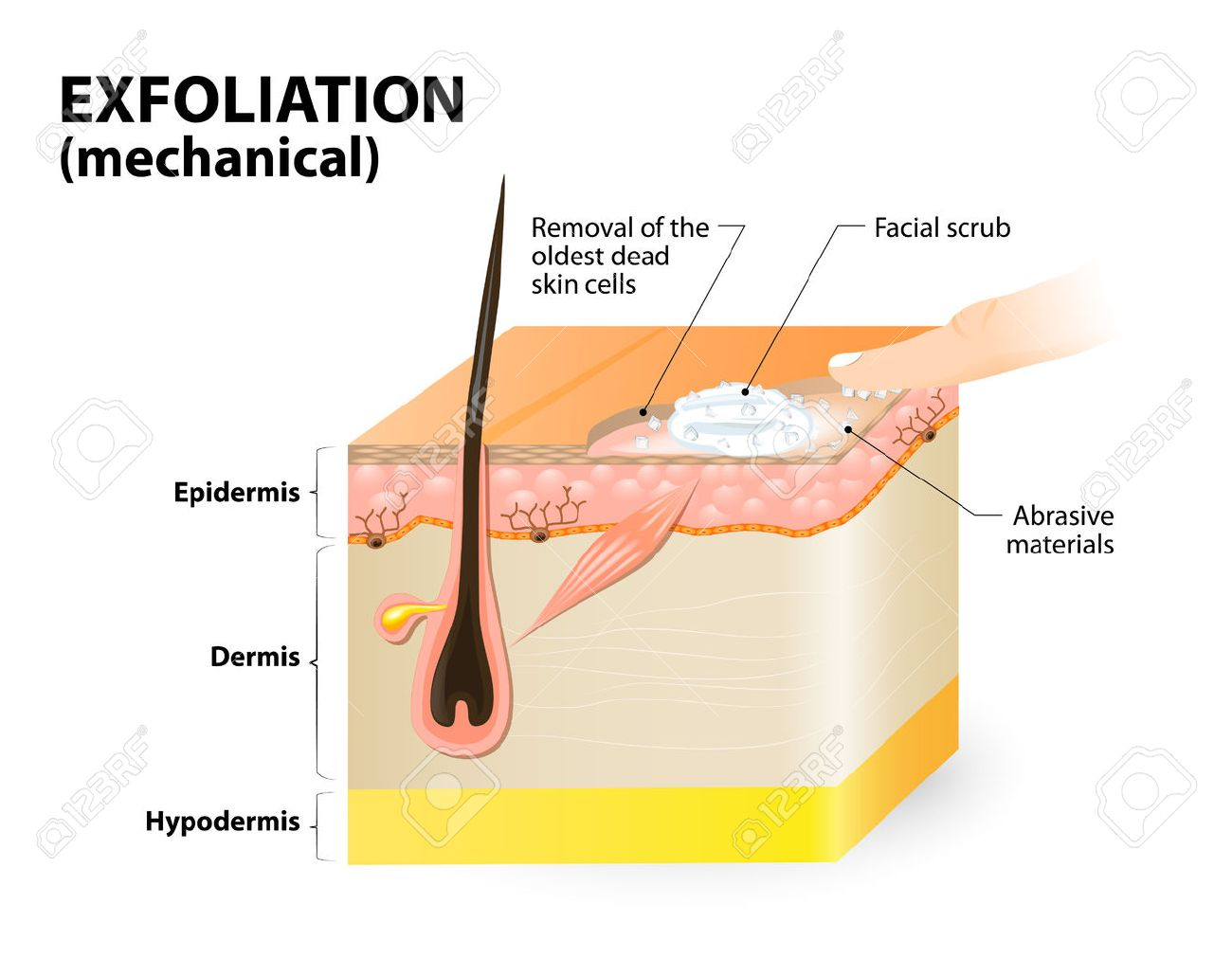 Cosmetology Cross Section Of A Skin Layers Royalty Free Cliparts