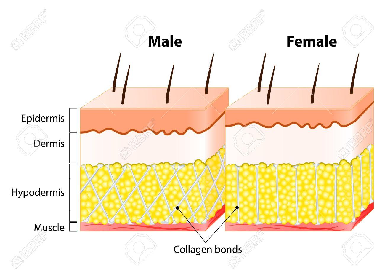Männliche Und Weibliche Haut. Struktur Und Anders. Man Epidermis Ist ...