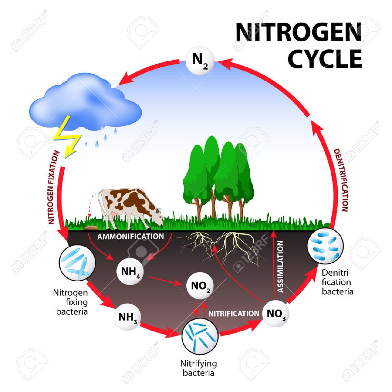 nitrogen cycle the processes of the nitrogen cycle transform well labeled diagram of nitrogen cycle nitrogen cycle the processes of the nitrogen cycle transform nitrogen from one form to another