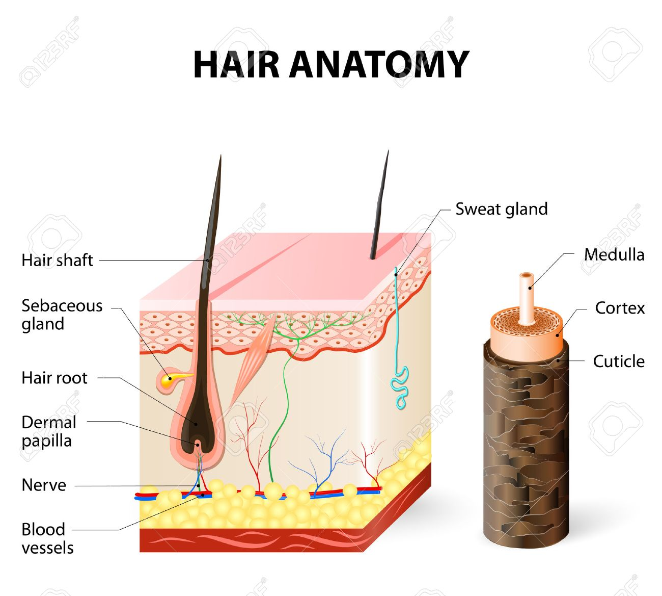 Hair Anatomy. The Hair Shaft Grows From The Hair Follicle Consisting ...