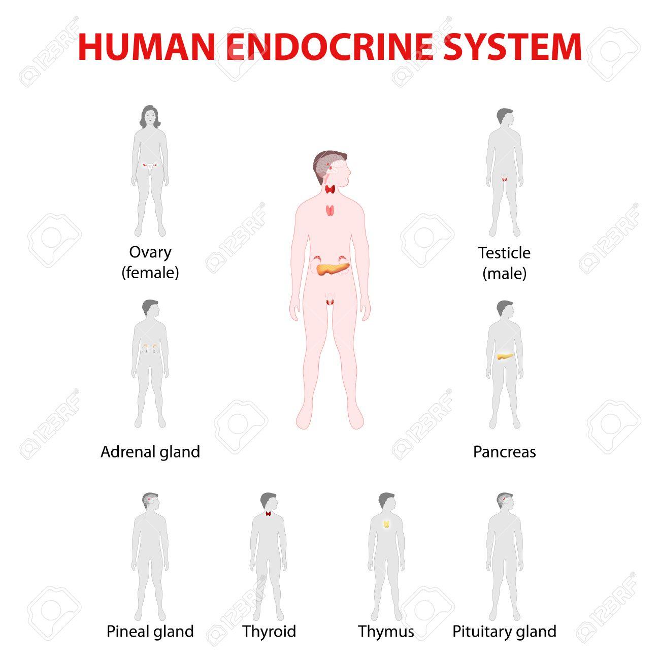 Cuales son las glandulas endocrinas del ser humano