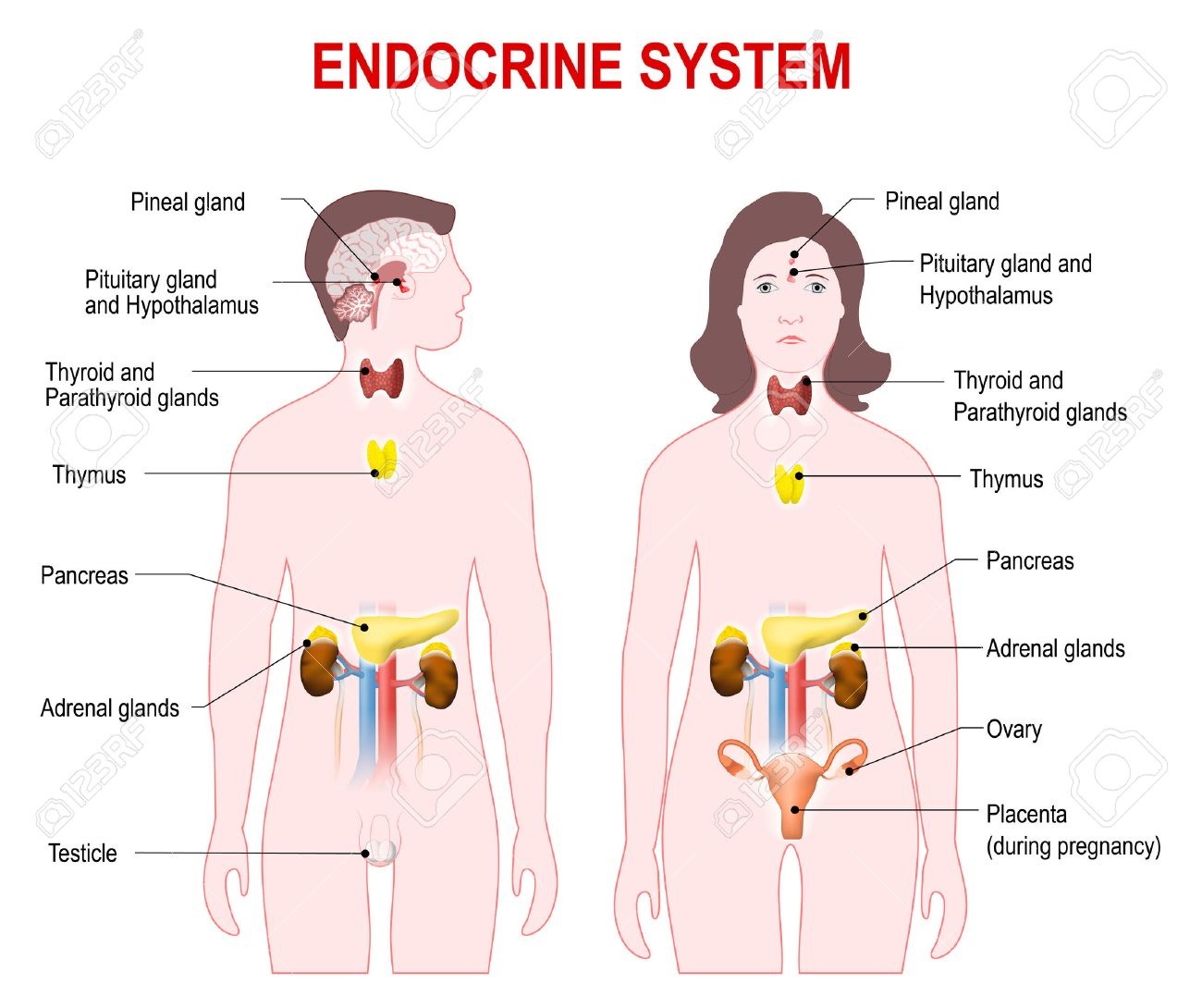 Endocrine System. Human Anatomy. Man And Woman Silhouette With ...