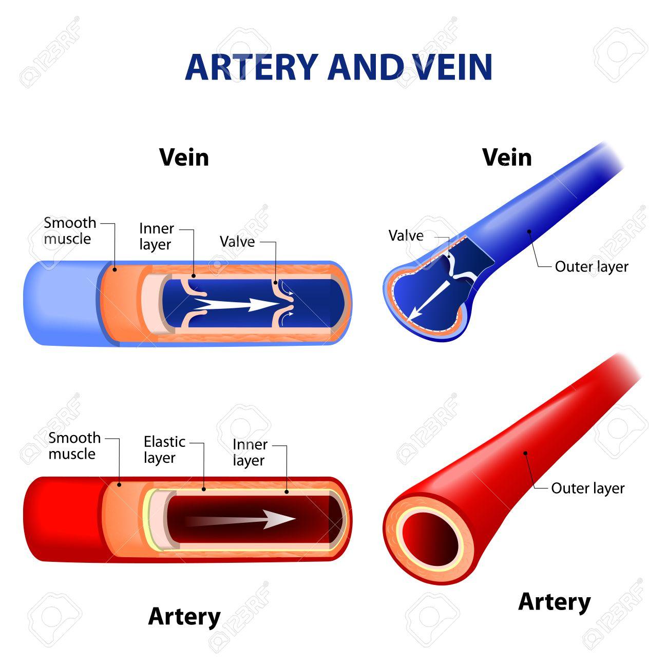 Circulatory System Stock Photos. Royalty Free Circulatory System Images
