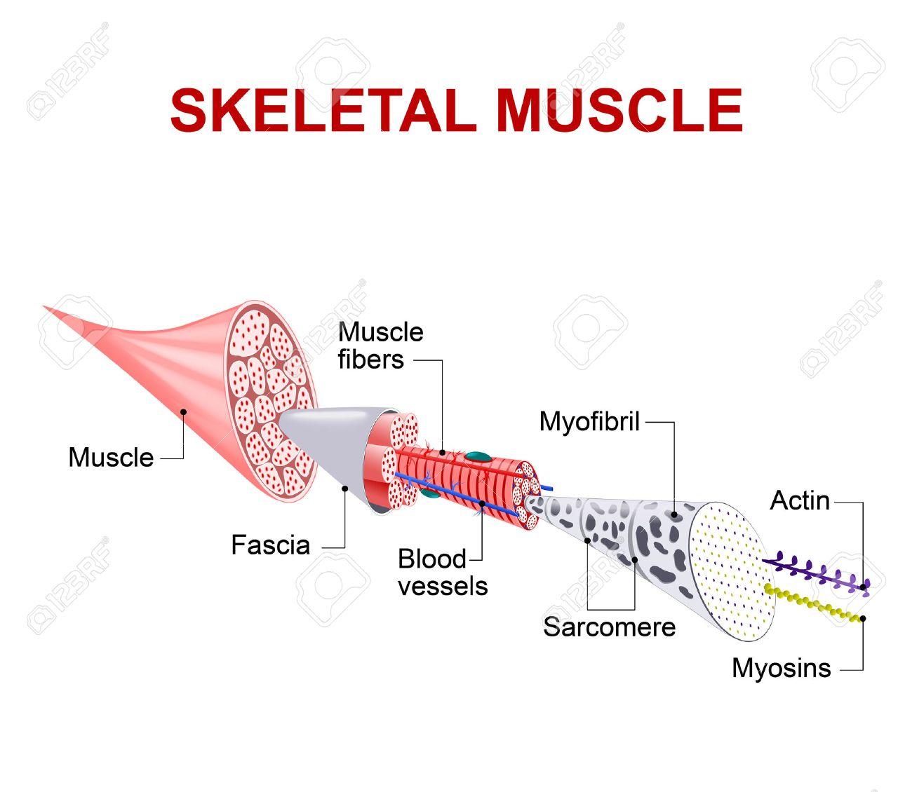 Jeder Skelettmuskelfaser Hat Viele Bündel Von Myofilamente. Jedes ...