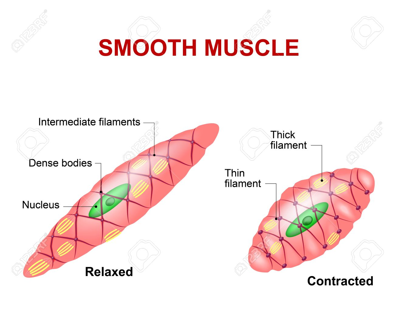 Smooth Muscle Tissue Anatomy Of A Relaxed And Contracted Smooth