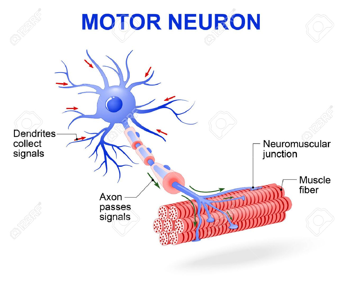 Structure of motor neuron vector diagram include dendrites cell vector diagram include dendrites cell body with nucleus axon myelin sheath nodes of ranvier and motor end plates the impulses are transmitted through ccuart Images