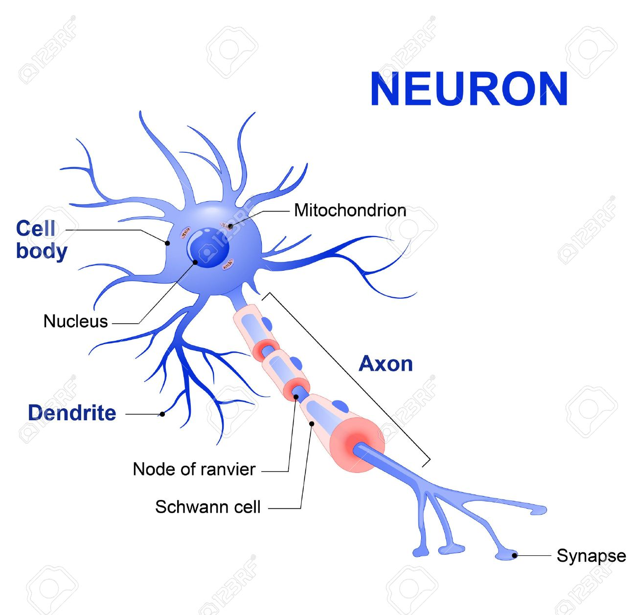 Anatomy of a typical human neuron (axon, synapse, dendrite, mitochondrion, myelin sheath, node Ranvier and Schwann cell). Vector diagram - 56921155