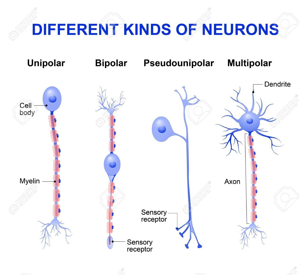 Diferentes Tipos De Neuronas Estructura De Una Neurona Típica Ilustraciones Vectoriales Clip Art Vectorizado Libre De Derechos Image 56921153