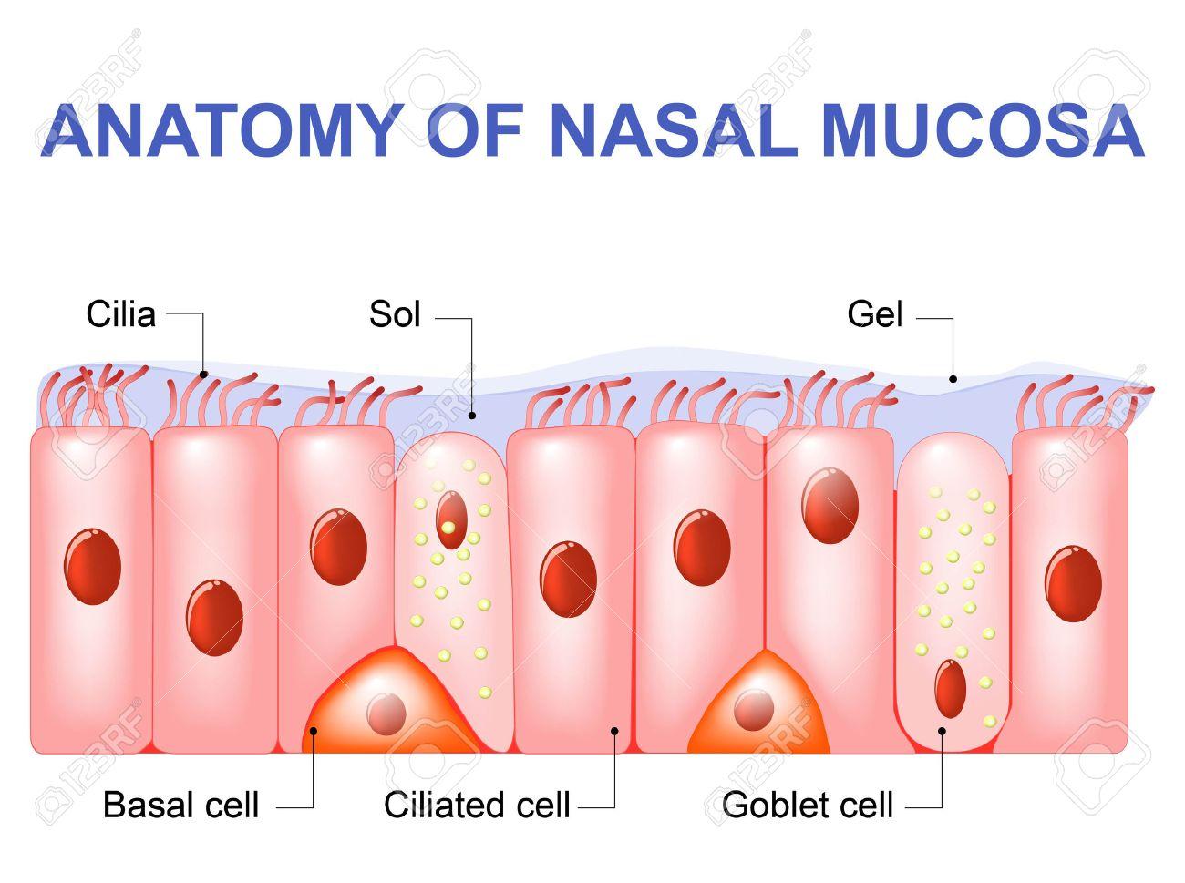 鼻粘膜の細胞。鼻汁。繊毛型、基...