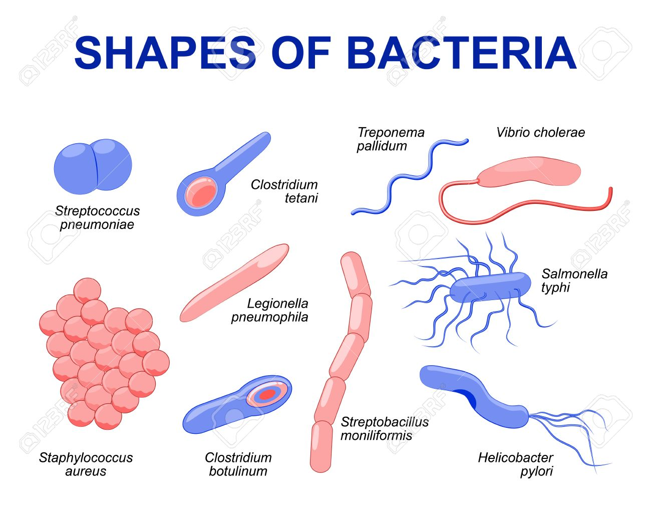 Common bacteria infecting human. illustration Bacteria are classified into 5 groups according to their basic shapes: spherical (cocci), rod (bacilli), spiral (spirilla), comma (vibrios) or corkscrew (spirochaetes). - 57464261