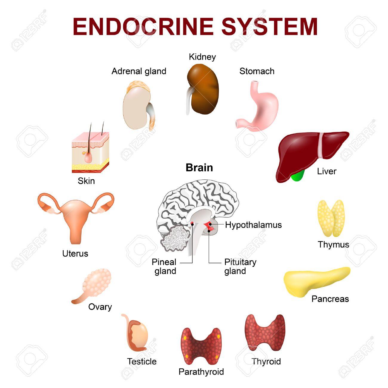 Menschliche Anatomie. Endokrine System (Hypophyse, Epiphyse, Hoden ...
