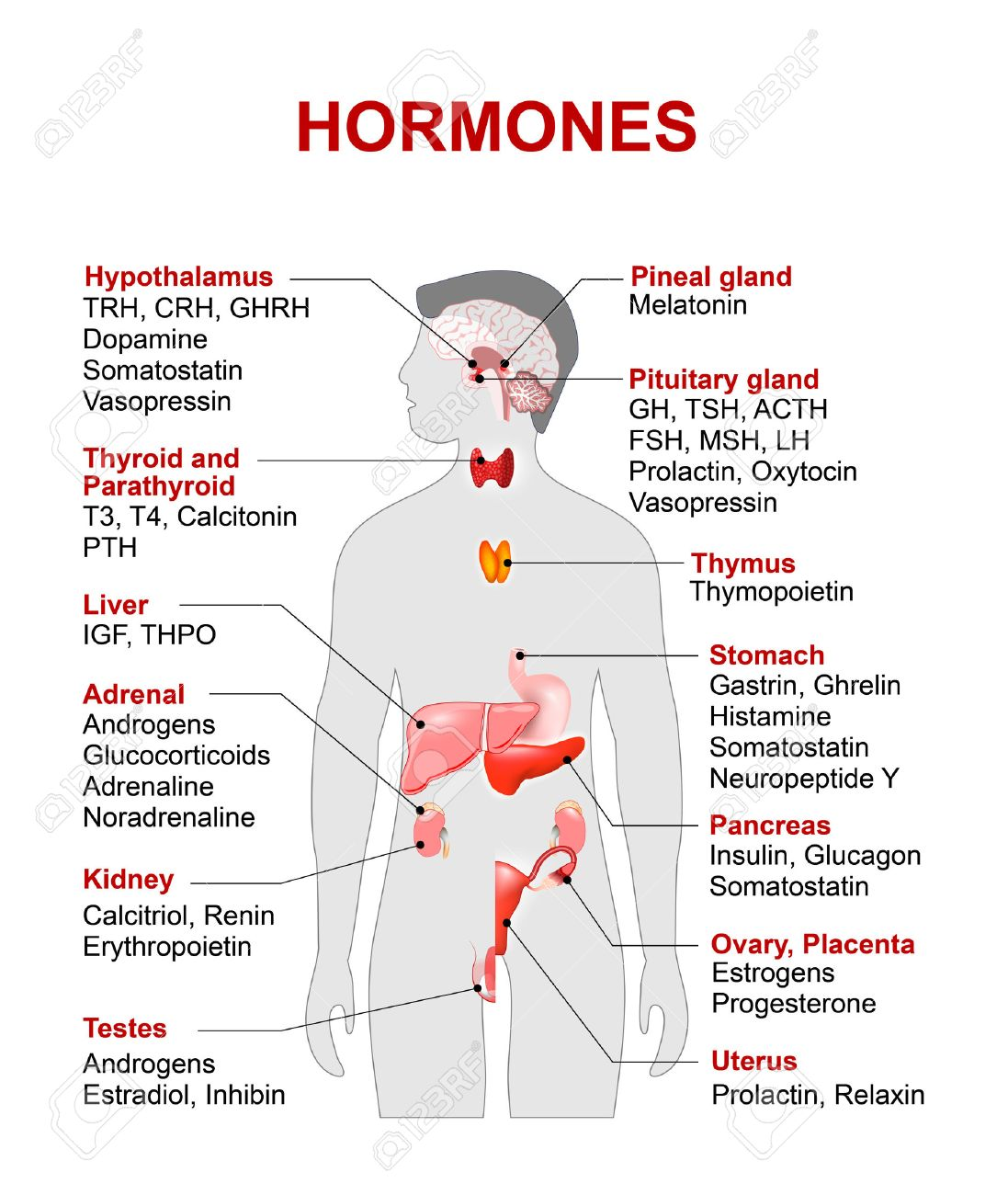 Endocrine gland and hormones. Human endocrine system. anatomy. Human silhouette with highlighted red color internal organs. - 59001654