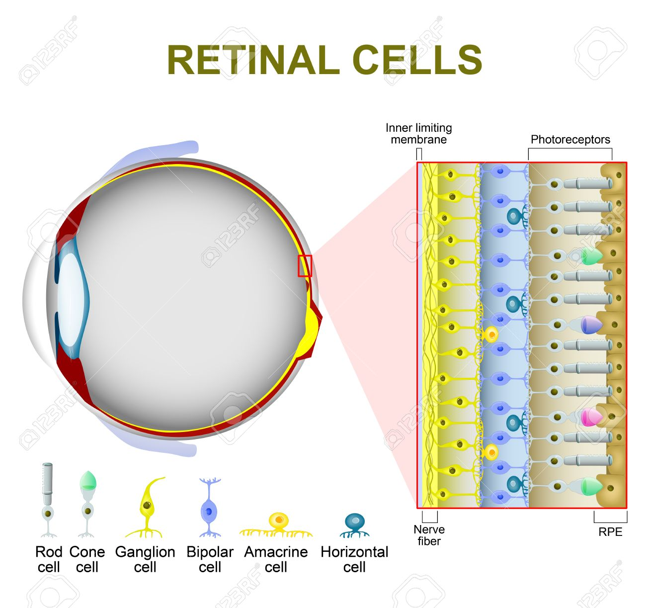 Photoreceptor cells in the retina of the eye retinal cells photoreceptor cells in the retina of the eye retinal cells rod cell and cone ccuart Images