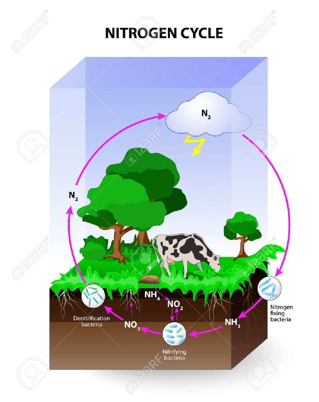 Nitrogen cycle process by which nitrogen is converted between nitrogen cycle process by which nitrogen is converted between its various chemical forms the pooptronica Images