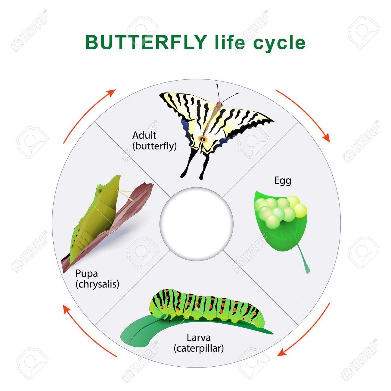 Butterfly Birth Diagram - Wiring Library •
