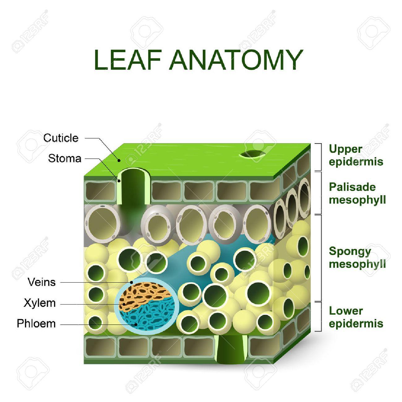 Anatomía De La Hoja. Diagrama De La Estructura De La Hoja ...