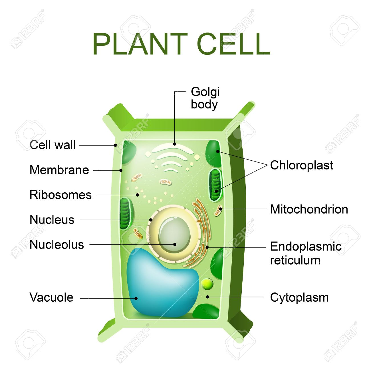 Plant Cell Anatomy Cross Section Of A Plant Cel Royalty Free