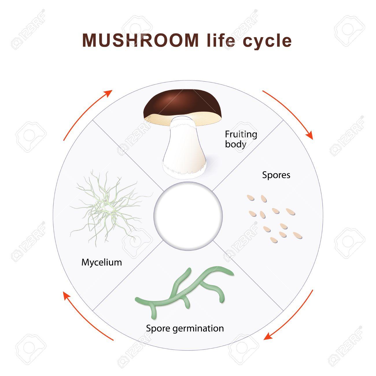 diagram of a mushroom mushroom life cycle mushrooms and vegetation reproduction fungus diagram of a typical mushroom mushroom life cycle mushrooms and