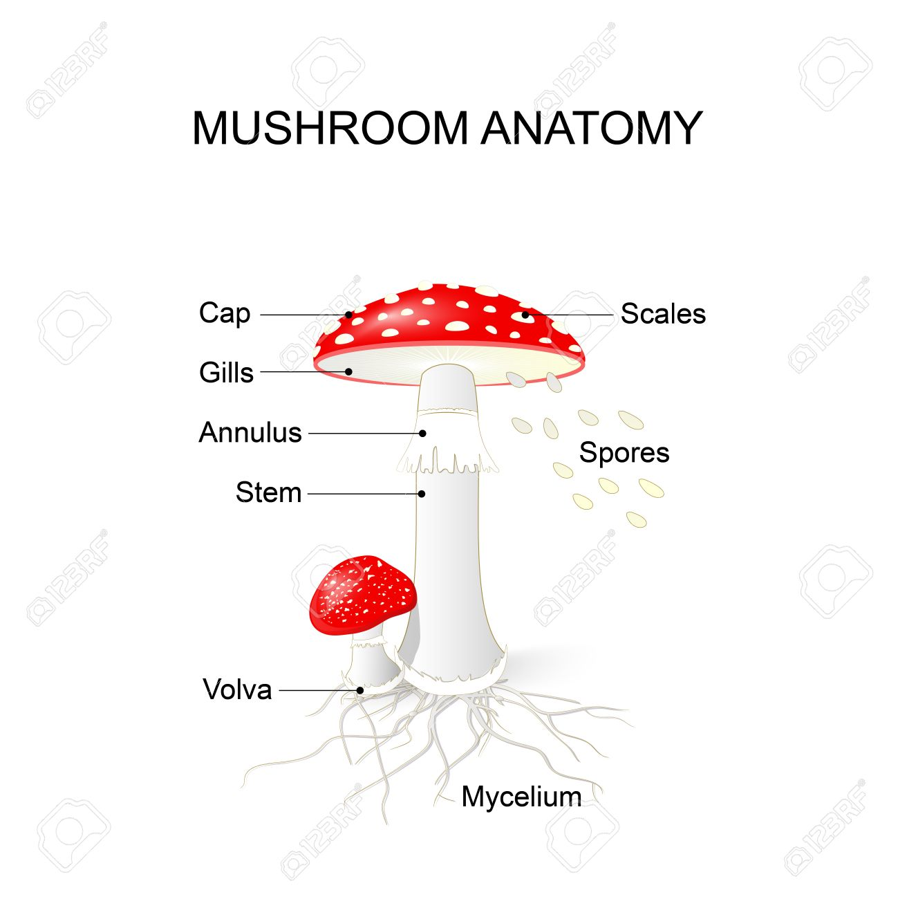 Amanita Muscaria. Mushroom Anatomy Royalty Free Cliparts, Vectors ...