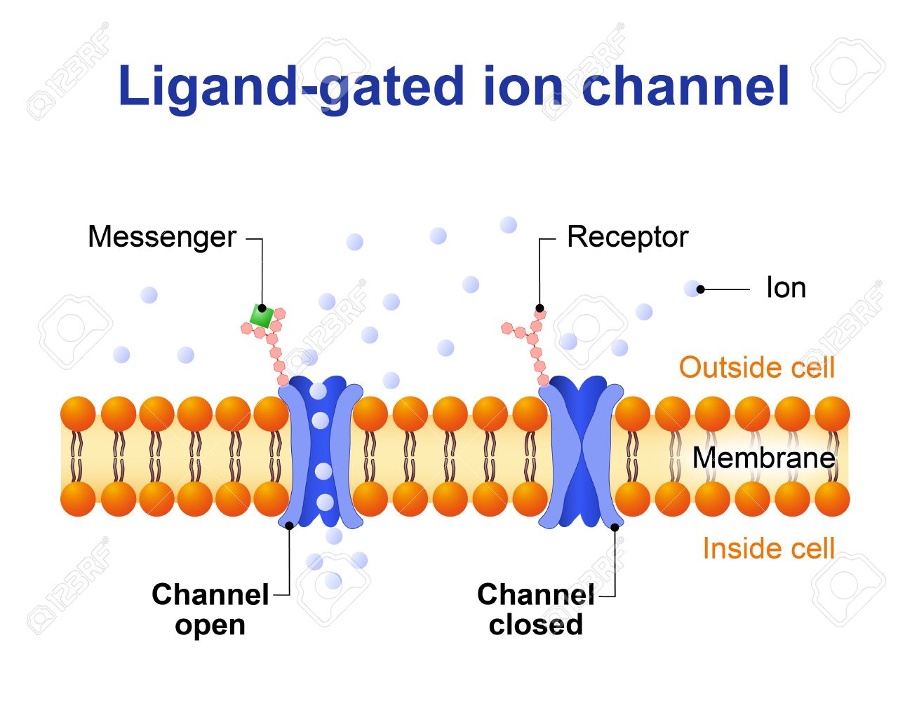 Ligand-gated Ion Channel. Channel Proteins Which Open To Ions ...