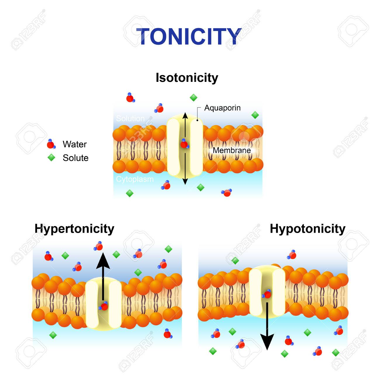 effects of tonicity on cell membrane essay What is the effect of tonicity on plant cells the water in the cell will pass through the membrane toward the effects of salt concentration on.