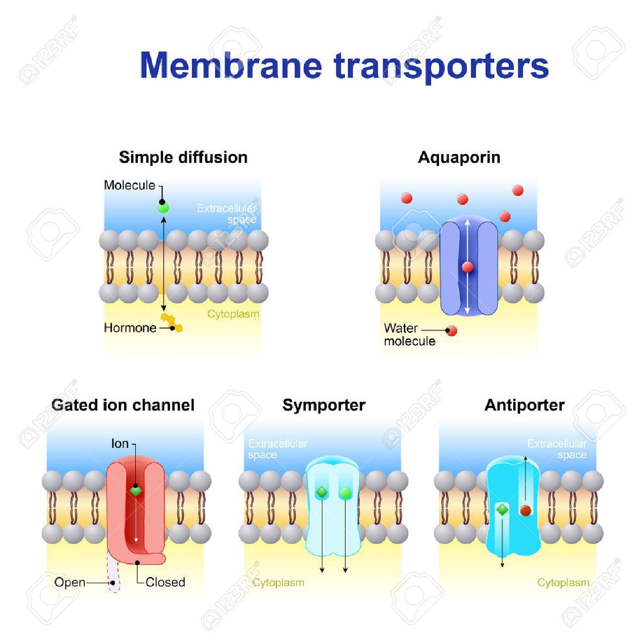 Los Mecanismos Para El Transporte De Iones Y Moléculas A Través De Membranas Celulares Tipos De Un Canal En La Membrana Celular Difusión Simple