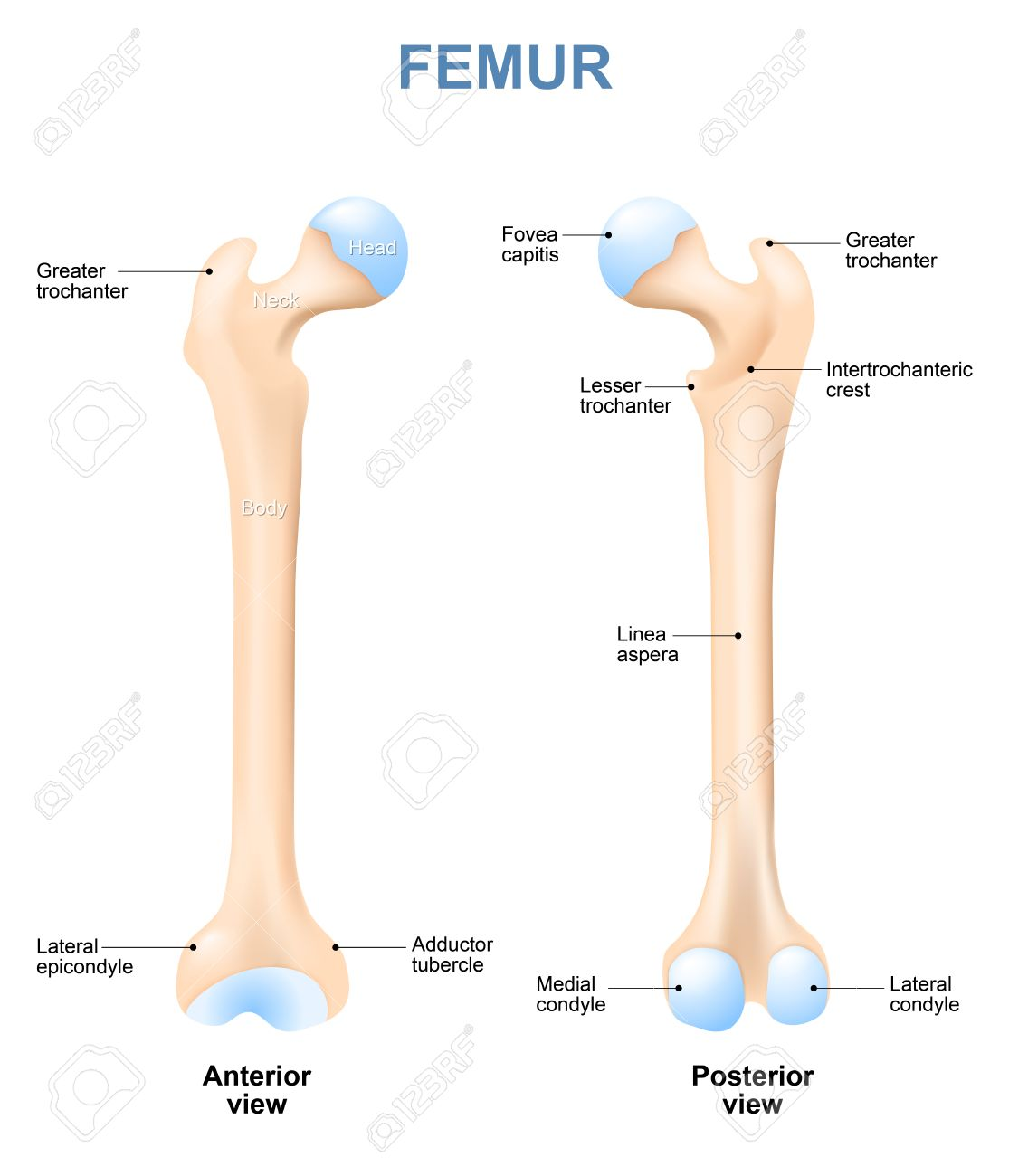 Human Femur With Front And Side View Labeled Detailed Medical