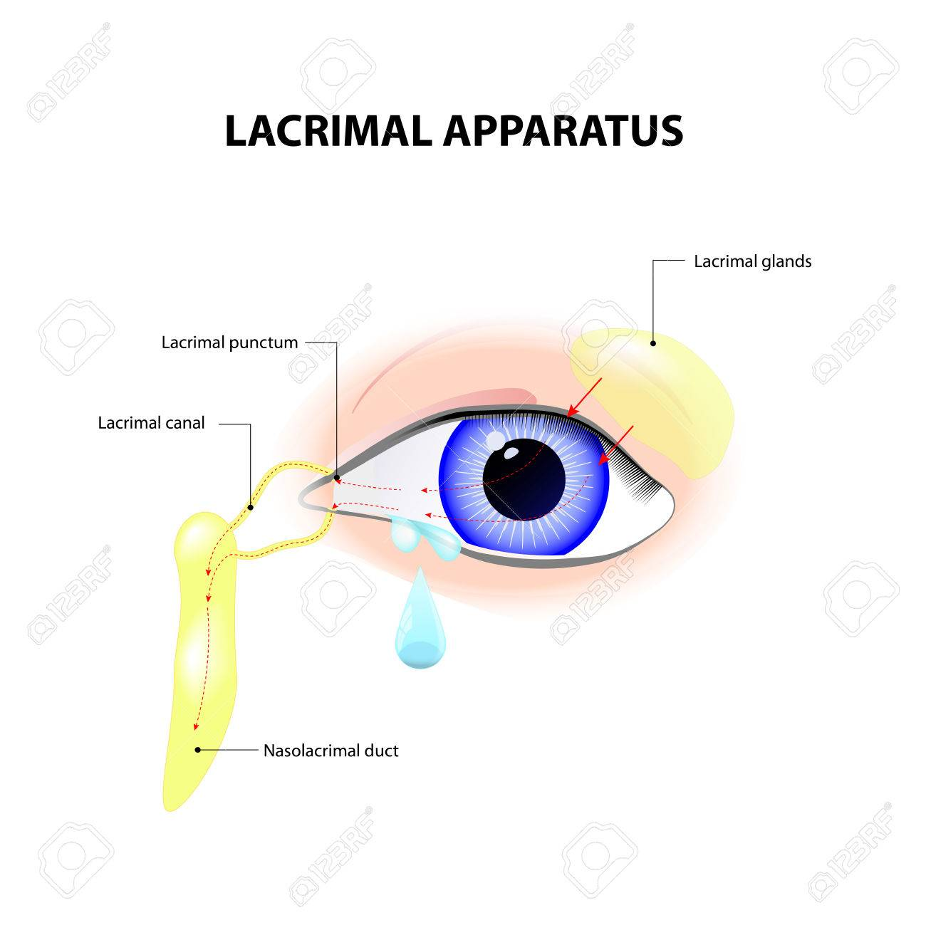 Lacrimal Apparatus. Anatomy Of Lacrimation. Secretion Of Tears ...