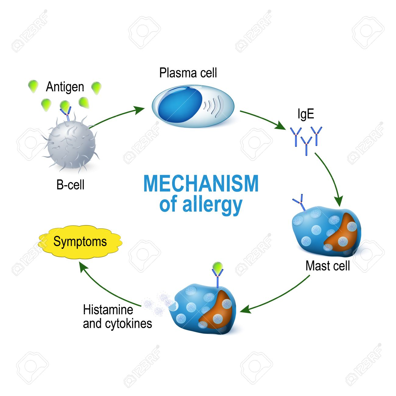 Mechanism of allergy mast cells and allergic reaction b cell mast cells and allergic reaction b cell is exposed to publicscrutiny Gallery