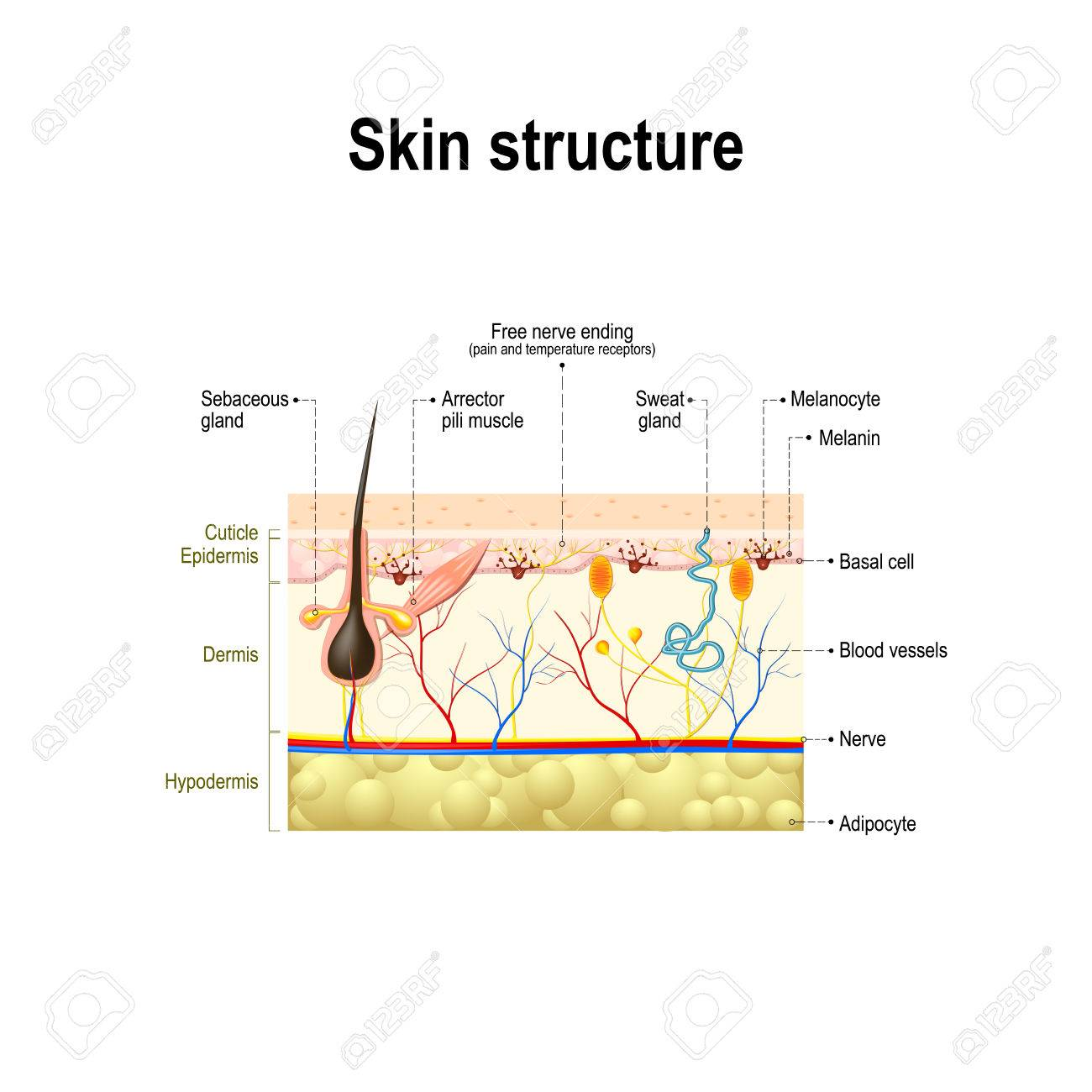 human skin and hair structure  cross section of the human skin  anatomy  diagram