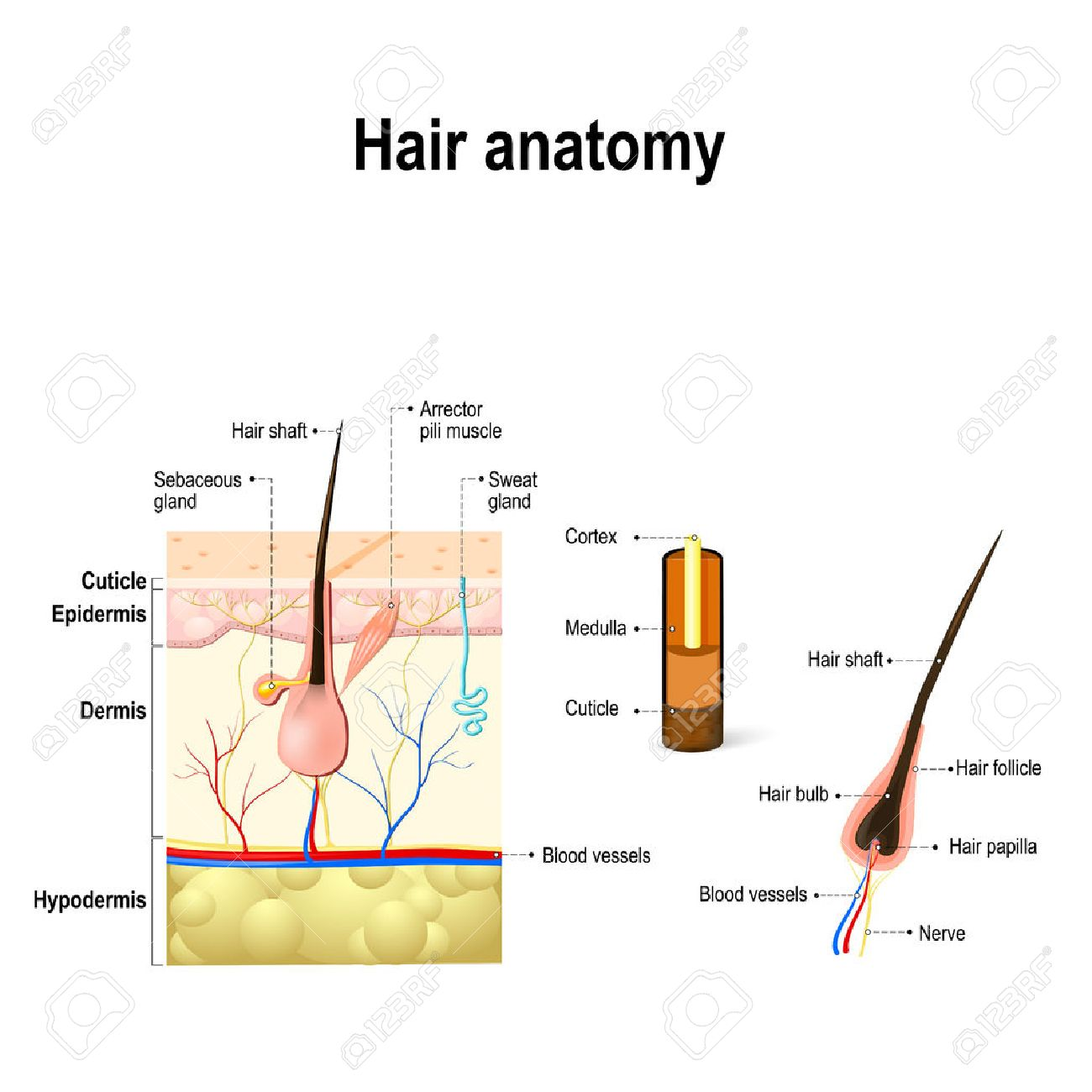 Human Hair Anatomy. Diagram Of A Hair Follicle And Cross Section ...
