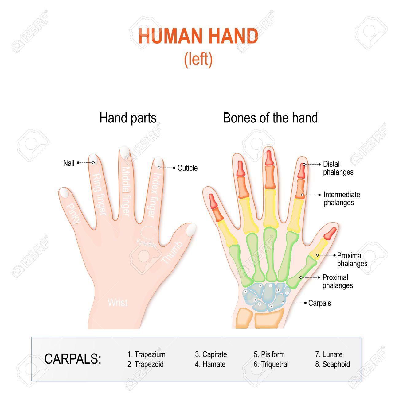 Partes De La Mano Y Los Huesos Humanos. La Mano Izquierda Sobre El ...