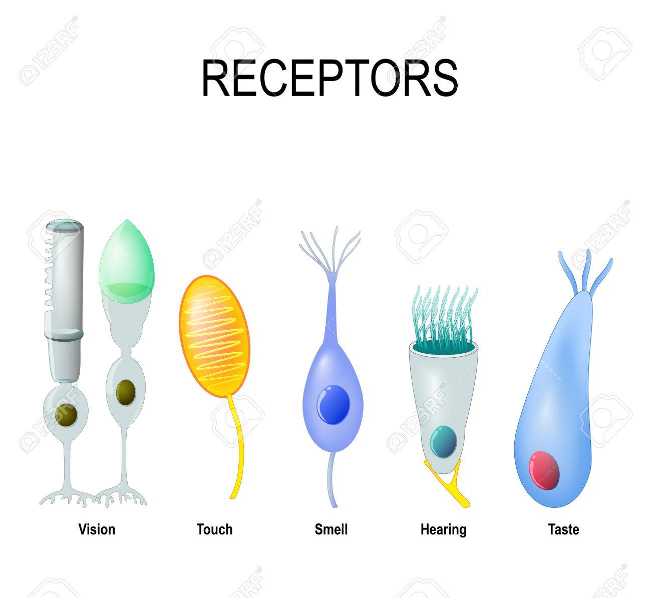 Receptor Cells: Rod And Cone (Vision), Meissner\'s Corpuscle (touch ...