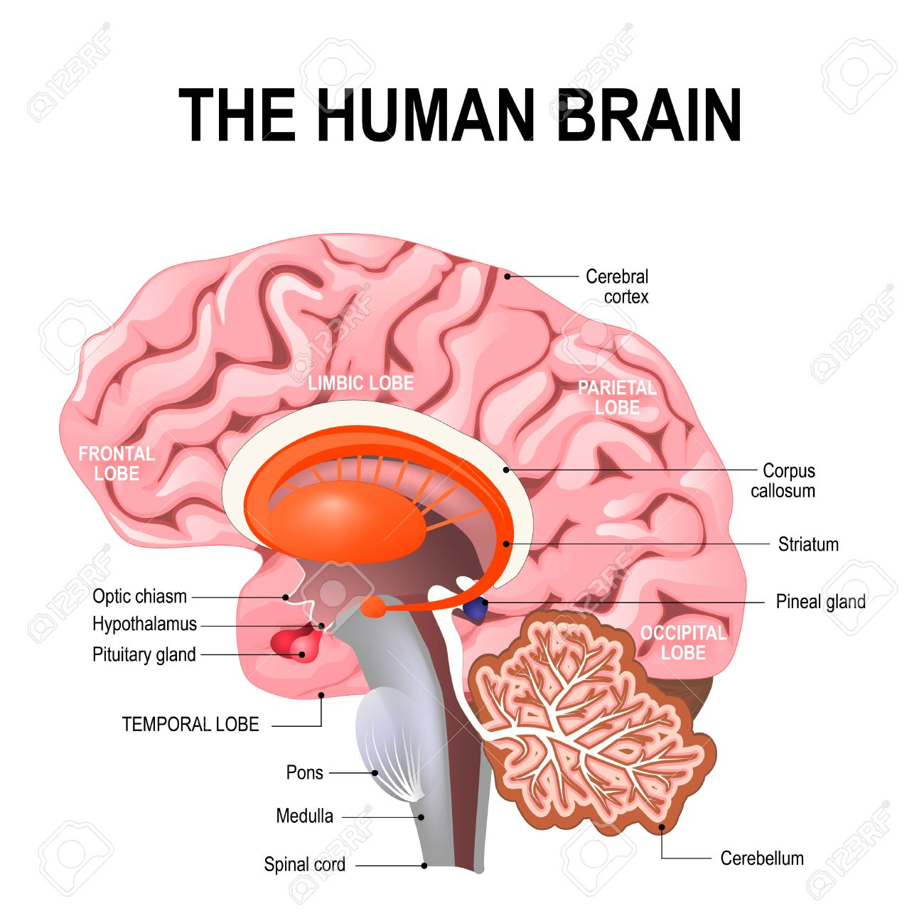 detailed anatomy of the human brain. Illustration showing the medulla, pons, cerebellum, hypothalamus, thalamus, midbrain. Sagittal view of the brain. Isolated on a white background. - 71358063