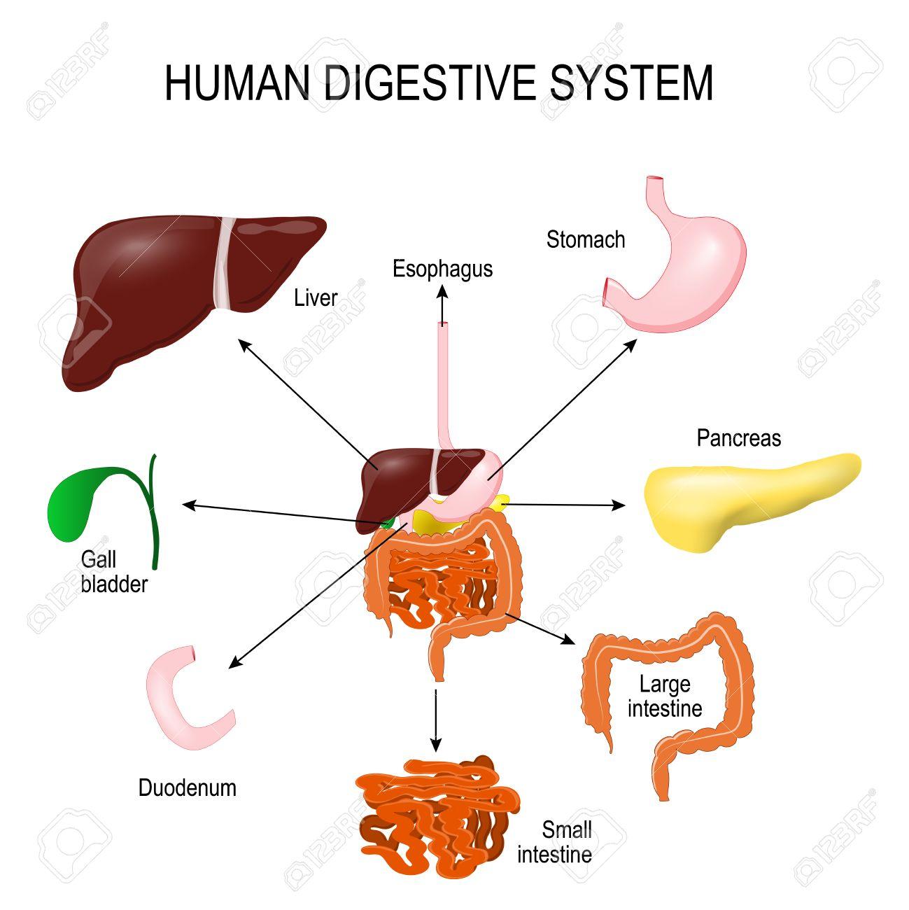 Sistema Digestivo Humano Con Todas Las Partes: El Estómago, Vesícula ...