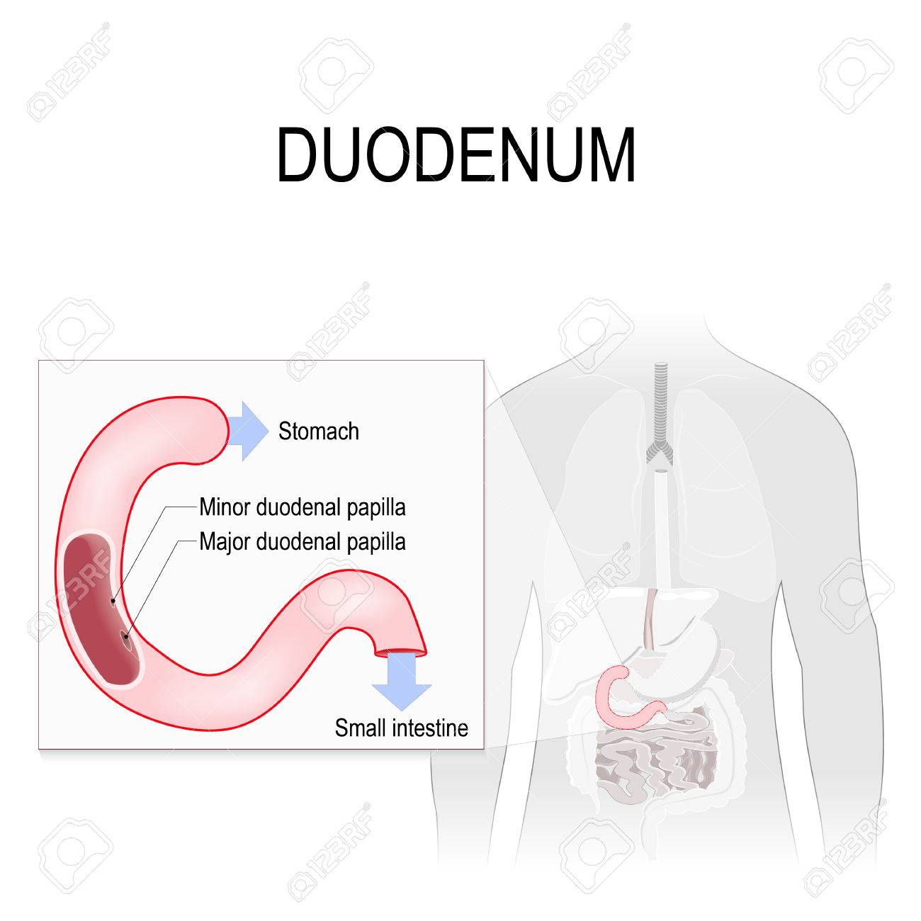 Duodenum Anatomy. Anatomical Locations Labelled. Human Silhouette ...