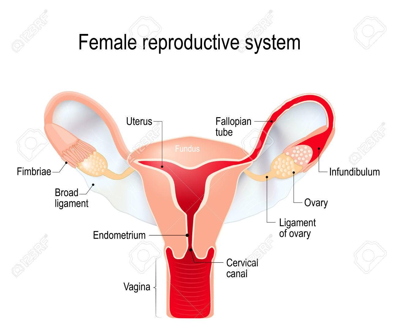 Sistema Reproductor Femenino (órganos Sexuales Internos). útero Con ...