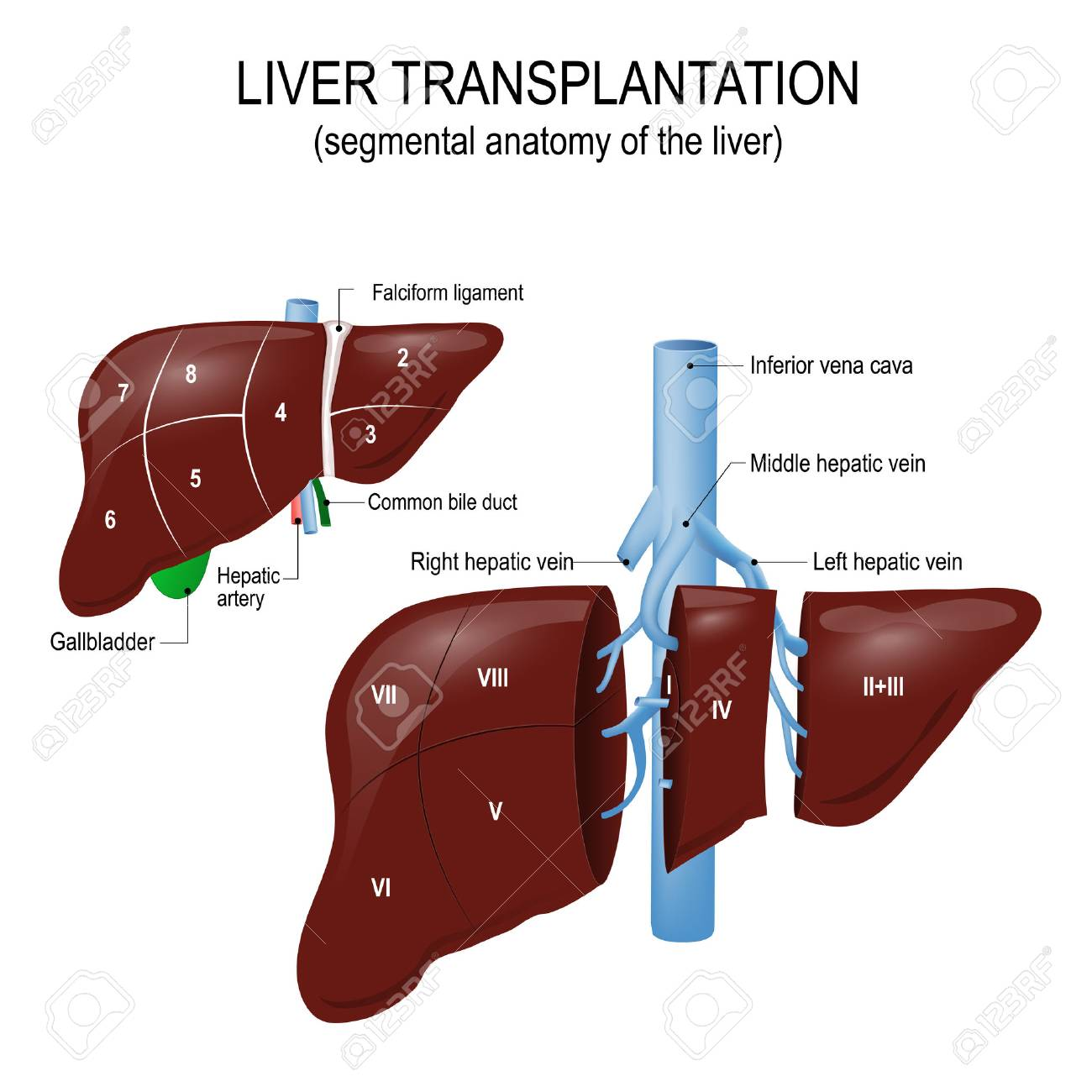 Liver Transplantation Segmental Anatomy Of The Liver And Blood