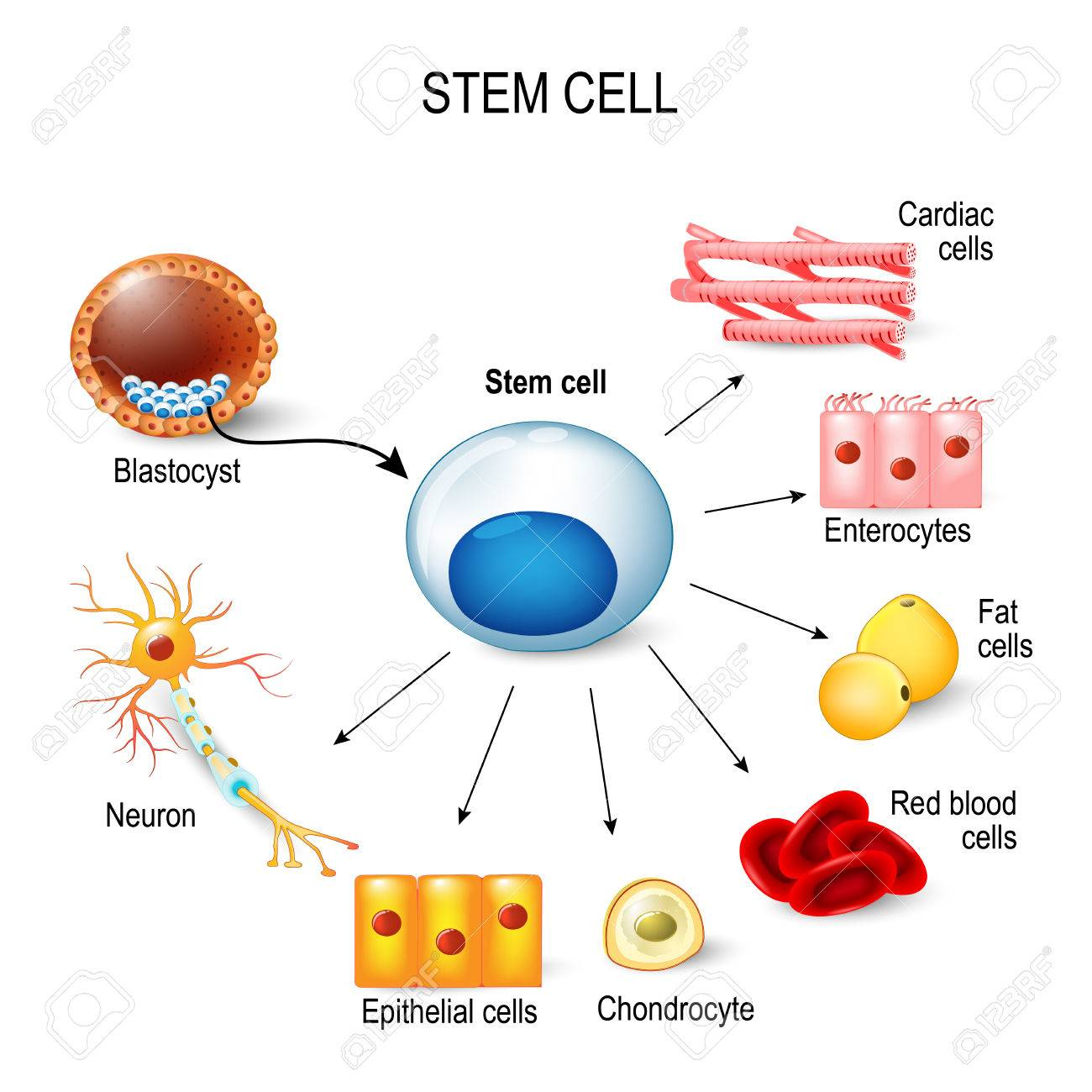 stem cells. These inner cell mass from a blastocyst. These stem cells can become any tissue in the body. for example: neuron, chondrocyte, enterocytes, red blood cells, muscle, fat or epithelial cells - 73524099