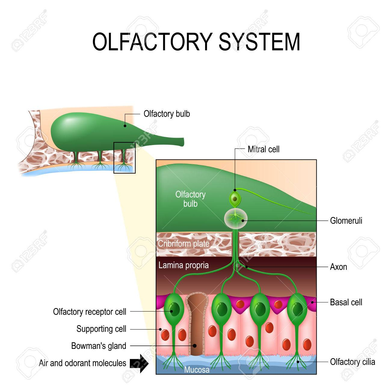 Olfactory System Inside The Human Head. Sense Of Smell. The ...