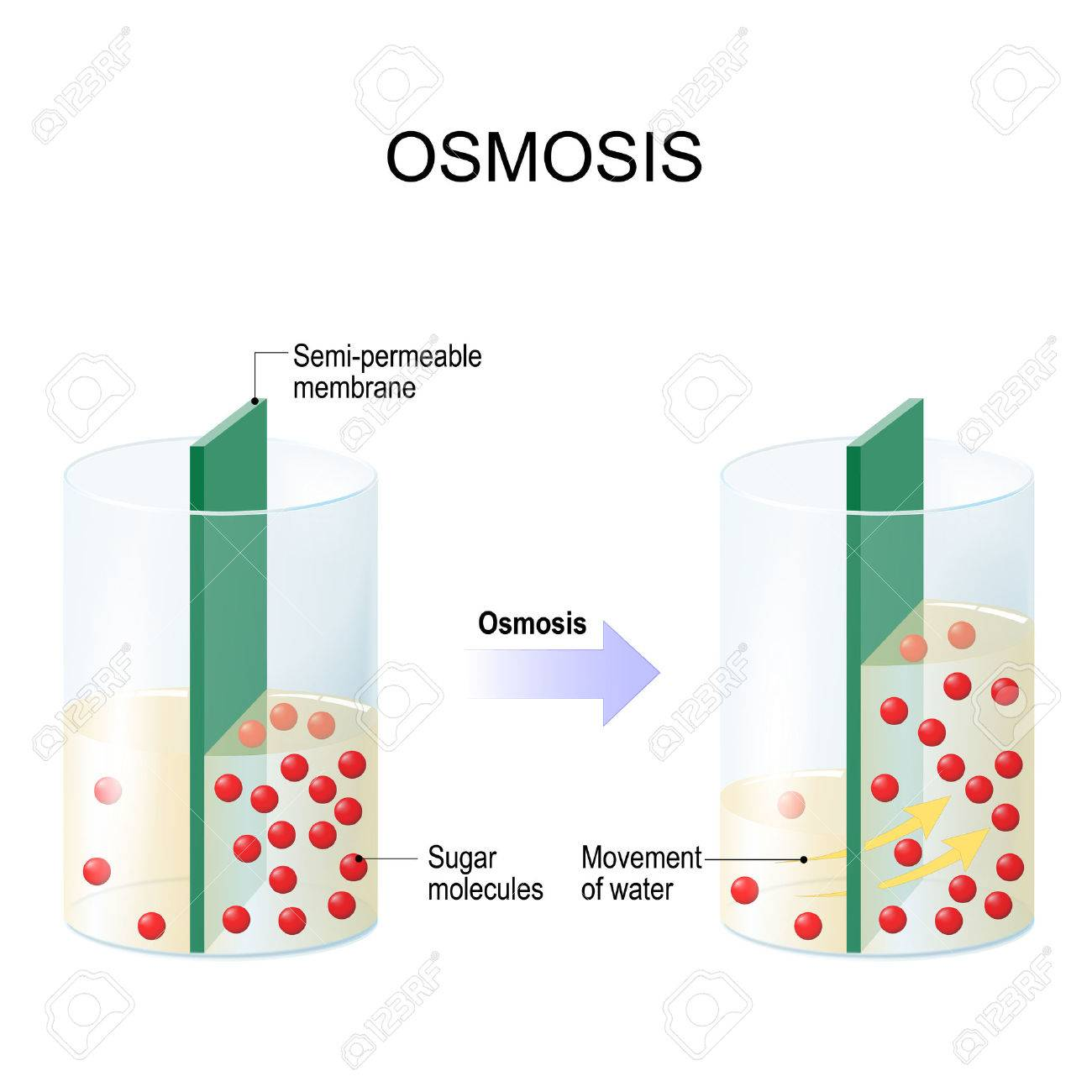 Osmosis. Water passing through a semi-permeable membrane into a region of higher sugar concentration. - 74594840