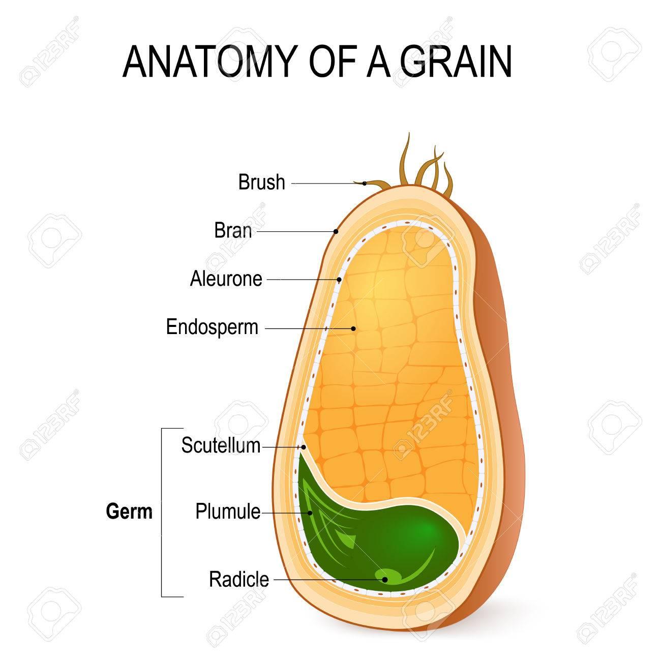 Anatomía De Un Grano. Sección Transversal. Dentro De La Semilla ...